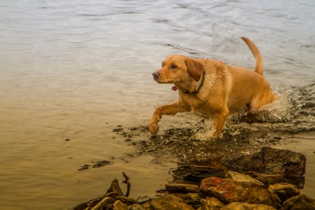 A Dog jumping out a Scottish Loch at sunset photo