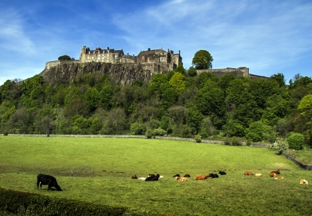 scots: Cows in Pasture at Stirling Castle in Scotland
