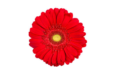 Red gerbera flower isolated on white background.