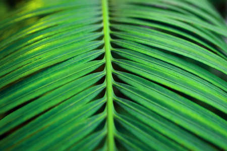 Background of green palm leaf. Close up.