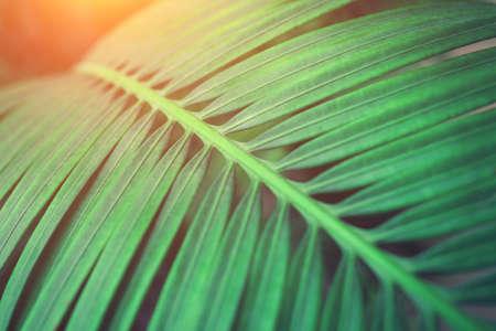 Hintergrund des grünen Palmblattes. Nahaufnahme.