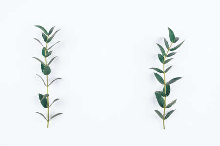 Green eucalyptus branches on a white background. Flat lay, top view.