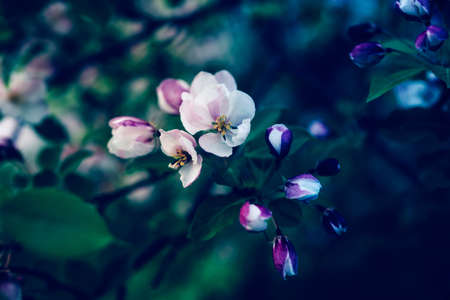 Beautiful apple blossom. Dark spring background with soft focus. Фото со стока