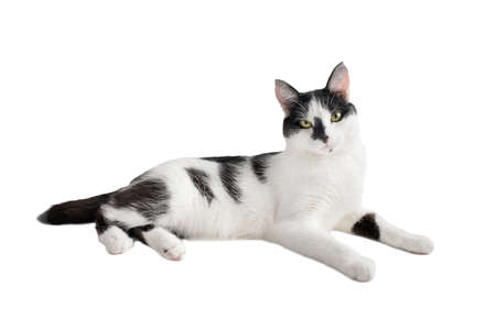 Beautiful black and white resting cat isolated on a white background.
