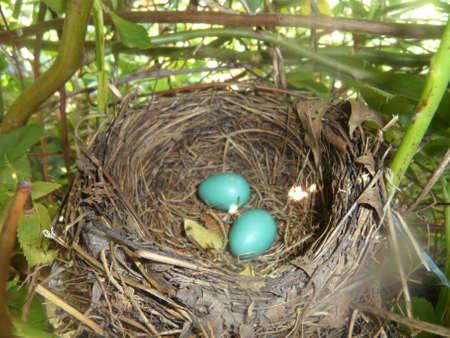 jay: Blue Jay Eggs Stock Photo