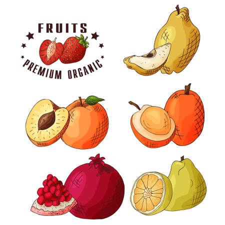 membrillo: Ilustración vectorial de colores. Diseño de alimentos con frutas. Bosquejo dibujado a mano del membrillo, del melocotón, del ximenia, de la granada, de la fruta del ugli. Productos frescos orgánicos. Vectores