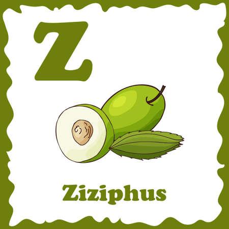 Vector fruit alphabet for education. Illustration for kids. Letter Z for Ziziphus. Illustration