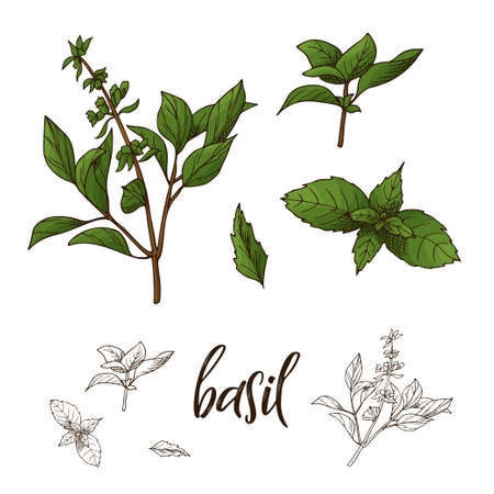 Hand drawn Basil herb. Decorative element in sketch style. Vector illustration.