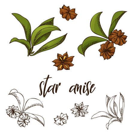 Hand drawn star anise herb. Decorative element in sketch style. Vector illustration.