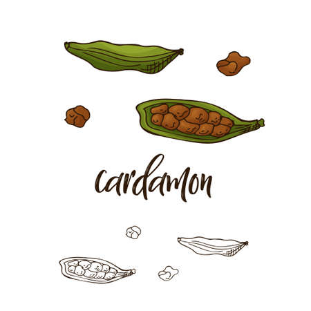 Detailed retro image of cardamon. Ink sketch isolated on white background. Herb spice. Vector illustration