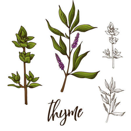 Detailed retro image of thyme. Ink sketch isolated on white background. Herb spice. Vector illustration.