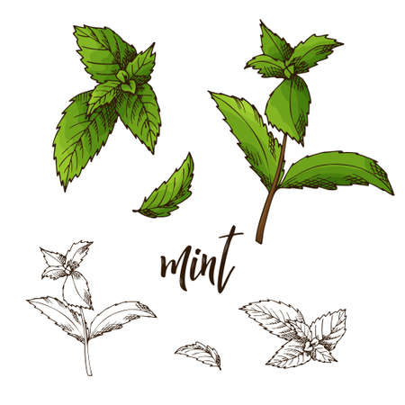 Detailed retro image of mint. Ink sketch isolated on white background. Herb spice. Vector illustration. Иллюстрация