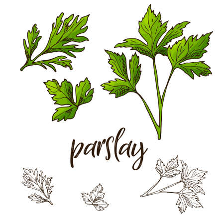 Hand drawn Parslay herb. Decorative element in sketch style. Vector illustration.