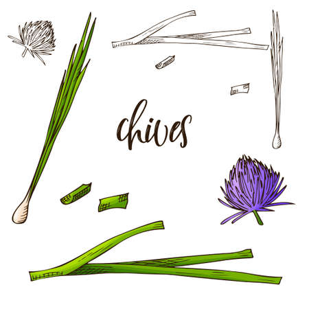 Hand drawn Chives herb. Decorative element in sketch style. Vector illustration.