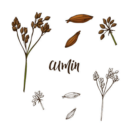 Hand drawn Cumin herb. Decorative element in sketch style. Vector illustration. Ilustração