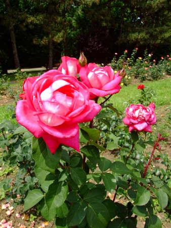 thea: Acapella Rose , Rosaceae Family, Rosa Genre, Iasi, Romania, Thea Hybrida ,Tantau-Math, 1994