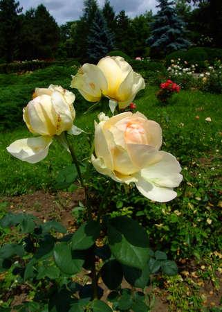 Dutch Gold Roses , Rosaceae Family, Rosa Genre, Iasi, Romania, Thea Hybrida