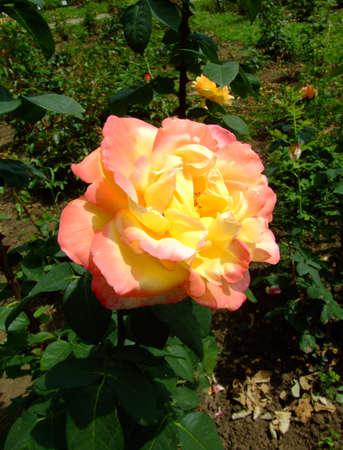thea: Emeraude dOr Roses , Rosaceae Family, Rosa Genre, Iasi, Romania, Thea hybrida