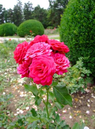 genre: Garnette Rose , Rosaceae Family, Rosa Genre, Iasi, Romania, Floribunda ,Tantau, 1951