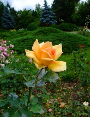 Lutetia Roses Stock Photo