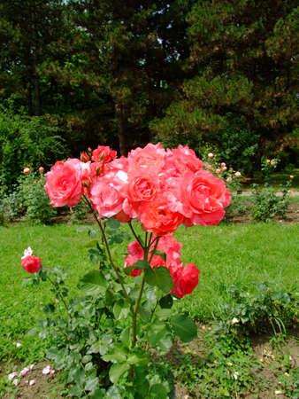 thea: Red Deville Roses , Rosaceae Family, Rosa Genre, Iasi, Romania, Thea Hybrida ,Kriloff, 1960 Stock Photo