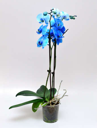 blue orchid: blue orchid Vanda Coerulea isolated Stock Photo