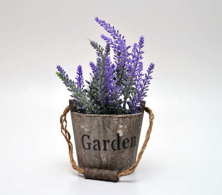 lavande: lavander flowerpot isolated on white background