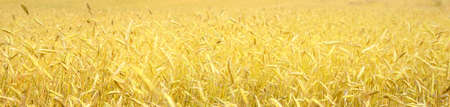 Golden wheat field close-up. Abstract natural pattern, texture, background, wallpaper. Panoramic view. Agriculture, farm and food industry, alternative production, traditional craft Stockfoto
