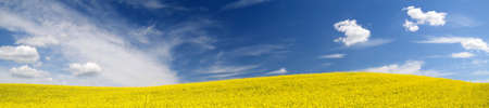 Blooming yellow rapeseed field. Clear blue sky with cirrus clouds. Cloudscape. Rural scene. Agriculture, biotechnology, fuel, food industry, alternative energy, environment, nature. Panoramic view Stock Photo