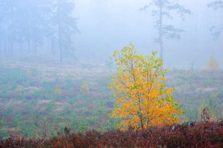 A small golden deciduous tree in evergreen pine forest at sunrise, close-up. Morning fog. Young fir trees in the background. Idyllic landscape. Environmental conservation in Finland