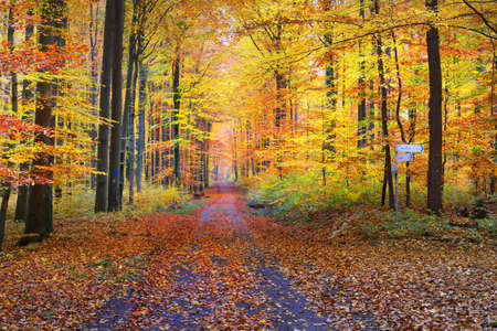 A single lane rural road through the golden beech trees. Forest floor of green, orange and yellow leaves. Mysterious light through the tree trunks. Environmental conservation in Heidelberg, Germany Stock Photo