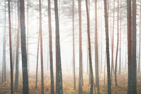 Morning fog in a mixed coniferous forest. Pine and fir trees on the mossy hills close-up. Mysterious autumn landscape. Sunlight flowing through the tree trunks. Kemeri national park, Latvia