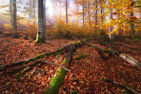 Colorful beech trees on the mossy hill, logs close-up. Forest floor of red and orange leaves. Dark fairy autumn landscape. Pure morning sunlight through the tree trunks. Heidelberg, Germany