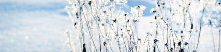 Forest floor of dry plants in hoarfrost, close-up. Sunny winter day. Seasons, climate change, ecology, botany. Natural white background. Macro photography. Panoramic image, graphic resources 写真素材