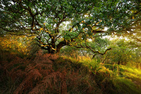 Breathtaking view of the Scottish rainforest. Ancient trees, moss and fern close-up. Pure morning sunlight. Crinan Canal, Argyll and Bute, Scotland, UK Zdjęcie Seryjne
