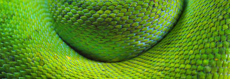 A body of the green tree python Morelia viridis close-up. Tallinn zoo, Estonia. Snake skin, natural texture, abstract art, graphic resources. Environmental conservation, wildlife, zoology, herpetology