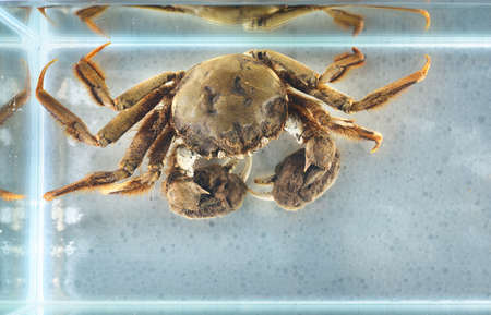 Eriocheir crab isolated in aquarium, close-up. Invasive species, zoology, biology, carcinology, zoo laboratory, science, research, education, environmental damage and conservation