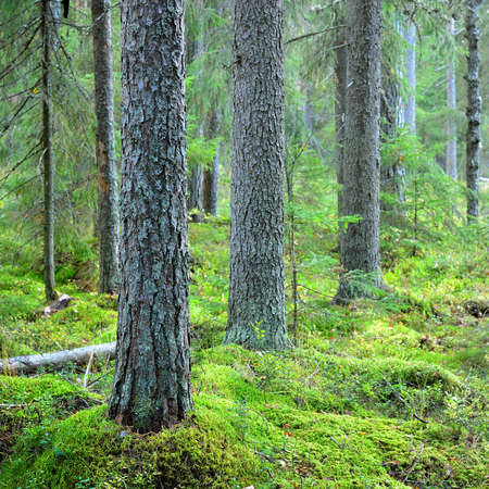 Summer landscape. Evergreen forest after the rain. Pine trees close-up. Finland Zdjęcie Seryjne