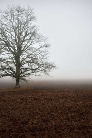 Country landscape. An empty agricultural field in a strong morning fog. Old oak tree without leaves close-up. Poland