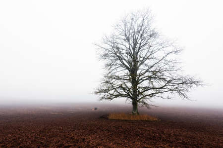 Country landscape. An empty agricultural field in a strong morning fog. Old oak tree without leaves close-up. Latvia
