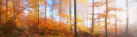 Colorful tall beech trees close-up. Red and orange leaves in a golden light. Sun rays through tree trunks. Panoramic picturesque scenery. Fairy autumn landscape. Heidelberg, Germany
