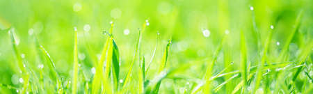 Green grass with dew drops at sunrise, texture, close-up. Abstract natural pattern. Sun flares blurred in bokeh. Graphic resources, macro photography, concept art, pure nature, panoramic image Standard-Bild