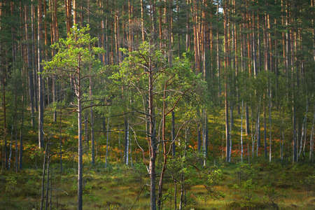 Young spruce and pine trees close-up. Evergreen coniferous forest in the background. Latvia Stock Photo