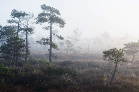 A swamp at sunrise. Young pine trees close-up. Fog and clear blue morning sky. Misty landscape. Kemeri, Latvia