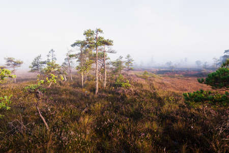 A swamp at sunrise. Forest floor of blooming heather flowers, young pine trees close-up. Fog and clear blue morning sky. Kemeri national park, Latvia