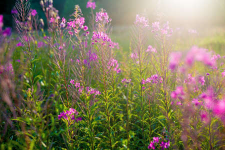 Pink flowers at sunset, close-up. Blooming country field. Summer landscape. Warm evening sunlight. Latvia