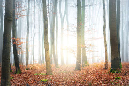 Misty autumn forest with tree silhouettes in Lorraine, France. Beech trees close-up