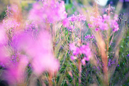 Summer country landscape. Pink flowers at sunset, close-up. Warm evening sunlight