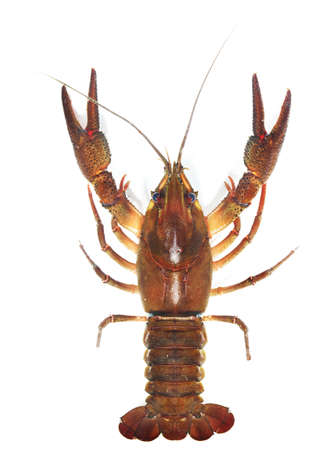 Male Noble crayfish Astacus astacus. Large live crayfish isolated over white.