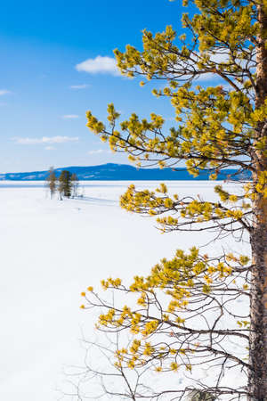 Panoramic view of the frozen lake. Fir tree close-up. Snow-covered mountains and coniferous forest in the background. Clear blue sky. Kola Peninsula, Murmansk region, Polar Circle, Karelia, Russia